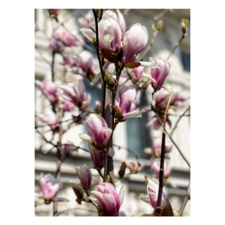 Magnolia de pe Lascăr Catargiu nr. 46