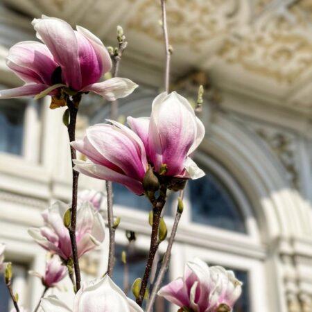 Magnolia de pe Lascăr Catargiu nr. 46 - detaliu
