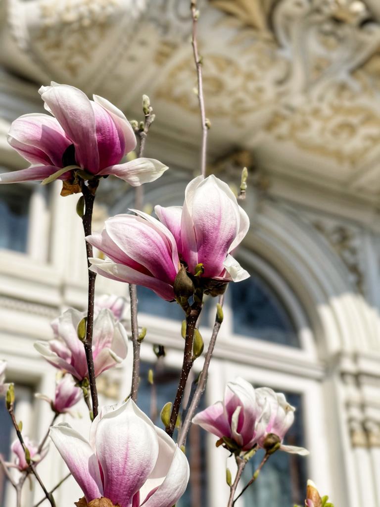 Drumul magnoliilor din București