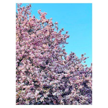 Magnolia de pe Mahatma Ghandi nr. 8 - 4
