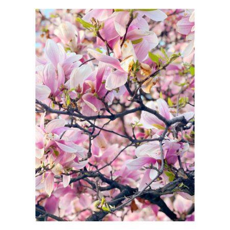 Magnolia de pe Mahatma Ghandi nr. 8 - 5