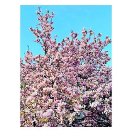 Magnolia de pe Mahatma Ghandi nr. 8 - 1