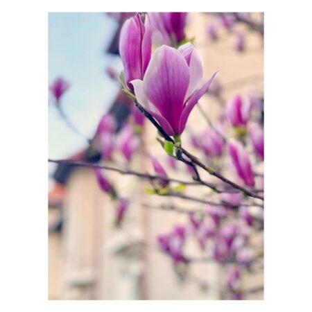 Casa lui George Emil Palade și magnolia - detaliu