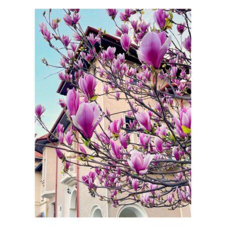 Casa lui George Emil Palade și magnolia