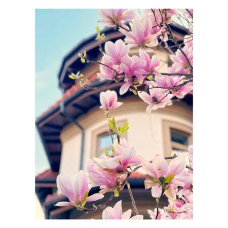 Magnolia de pe Str. B. Șt. Delavrancea nr. 41 - zoom in