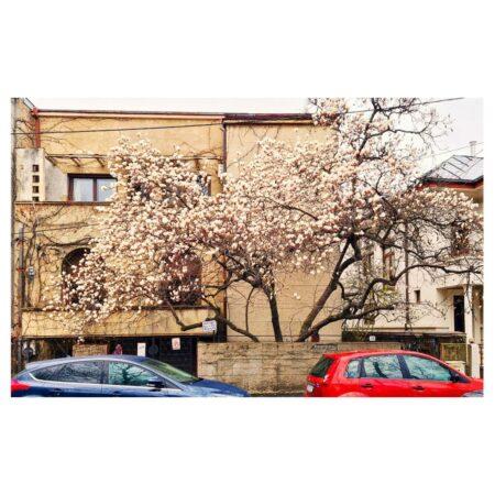 Florile magnoliei yulan de pe Str. Barbu Delavrancea nr. 11 - fațada