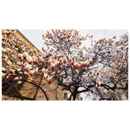 Florile magnoliei yulan de pe Str. Barbu Delavrancea nr. 11 și fragment de arhitectură modernistă