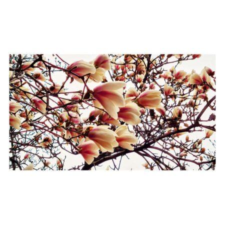 Florile magnoliei yulan de pe Str. Barbu Delavrancea nr. 11 - perspectivă