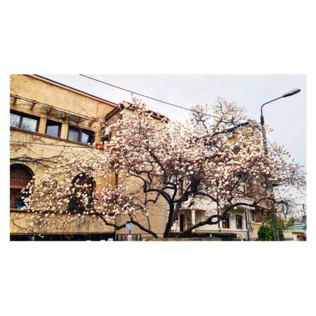 Magnolia de pe Str. Barbu Delavrancea nr. 11 - perspectivă