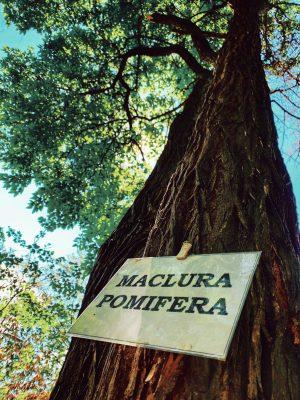 """Maclura pomifera numită popular """"merele cailor"""" sau """"portocal fals"""""""